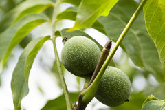 Unripe green walnuts Stock Photos