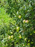 Raindrops on Green Apples on Tree. Unripe home grown organic green apples growing on a leafy tree with rain and raindrops from late summer storm Stock Image