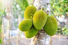 Free Unripe Jackfruits Or Artocarpus Heterophyllus Royalty Free Stock Photos - 156481538