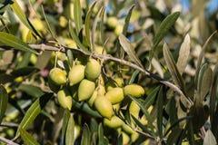 Unripe kalamata olives on olive tree branch. Closeup of unripe kalamata olives on olive tree branch Stock Photo