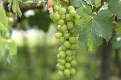 A bunch of unripe Kyoho grapes. Unripe Kyoho grape appear green, when ripe turns dark purple royalty free stock image