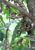Unripe Langsat Fruit. Portrait of langsat or lanzones (Lansium parasiticum) fruit on the tree branch, growing in Manokwari, West Papua, Indonesia. It is native stock photos