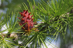 Unripe larch strobile Stock Image