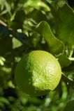 Unripe lemon Stock Photo