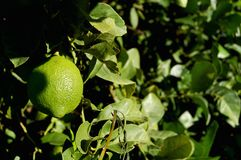 Unripe lemon Royalty Free Stock Image