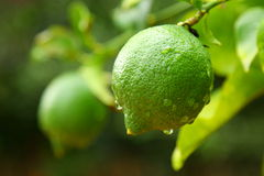 Unripe Lemon Royalty Free Stock Photos