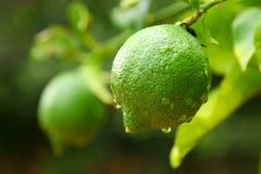 Unripe Lemon. An unripe lemon with recent rainfall evident Royalty Free Stock Photos