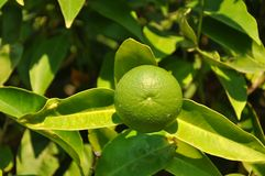 Unripe lemon fruit Royalty Free Stock Images