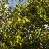 Unripe lemon fruits on the tree Stock Photo