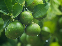 Unripe lemon with leaves and water drop. Royalty Free Stock Photos