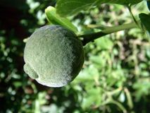 Unripe lemon on tree Royalty Free Stock Photo