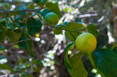 Unripe lemon on the tree Stock Photos
