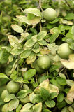 Unripe lemons on branches among eaves. Stock Photos