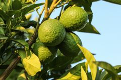 Unripe lemons and leaves on a tree, sky in background. stock photography