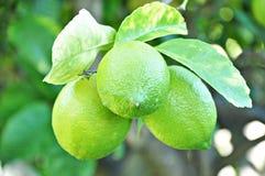 Unripe lemons on the tree Stock Photos