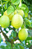 Unripe lemons on the tree Stock Photo