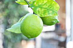 Unripe lemons on the tree Royalty Free Stock Photo
