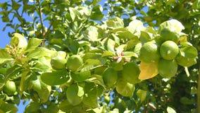 Unripe lemons on the tree.  stock video footage
