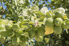 Unripe lemons on the tree, lemon blossom Stock Photo