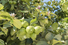 Unripe lemons on the tree, lemon blossom Royalty Free Stock Images