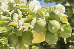 Unripe lemons on the tree, lemon blossom Royalty Free Stock Photos