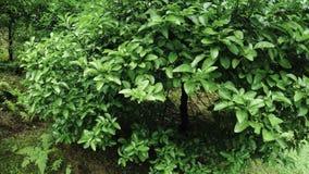 Unripe lemons on trees. Batumi Botanical Garden unripe fruits grow on trees stock video footage