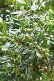 Unripe macadamia nuts. Hanging on tree Stock Photos
