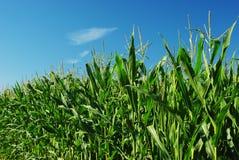 Unripe maize Royalty Free Stock Photo