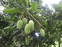 Unripe mangoes on a mango tree [Mangifera indica]. Mango, mangas, mangga, mempalam, mempelam, cuckoo`s joy, indian mango, bowen mango, amra pod or puah - The Royalty Free Stock Photo