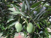 Unripe mangoes on a mango tree [Mangifera indica]. Mango, mangas, mangga, mempalam, mempelam, cuckoo`s joy, indian mango, bowen mango, amra pod or puah - The Stock Photo