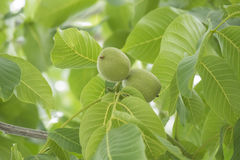 Unripe nuts on the tree Stock Image