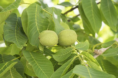 Unripe nuts on the tree Stock Photo