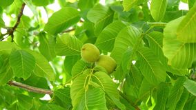 Unripe nuts on the tree (4K).  stock video