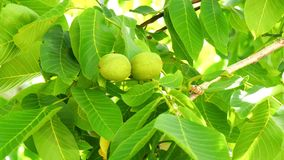 Unripe nuts on the tree (4K) stock video footage