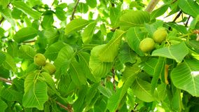 Unripe nuts on the tree (4K) stock video