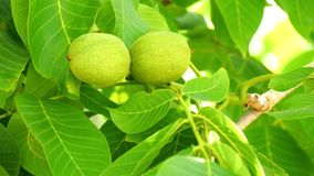 Unripe nuts on the tree (4K).  stock footage