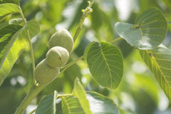 Unripe nuts on the tree Stock Photos