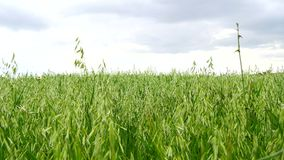 Unripe Oat field, green (4K).  stock video footage