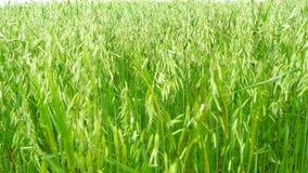 Unripe Oat field, green (4K) stock footage