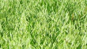 Unripe Oat field, green (4K) stock video