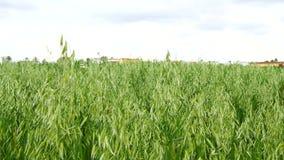 Unripe Oat field, green (4K).  stock footage