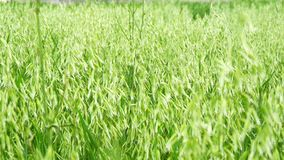 Unripe Oat field, green (4K).  stock video