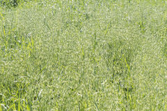 Unripe Oat harvest, green field Royalty Free Stock Images