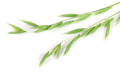 Unripe oat spike isolated on white background.  Royalty Free Stock Photography