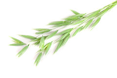 Unripe oat spike isolated on white background.  Royalty Free Stock Photo