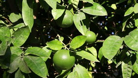 Unripe orange on branch stock video footage