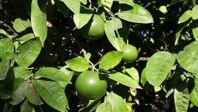 Unripe orange on branch. Closeup shot of an unripe orange on branch stock video footage