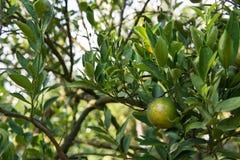 Unripe orange on the tree Royalty Free Stock Photography