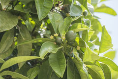 Unripe oranges growing on the tree Royalty Free Stock Images