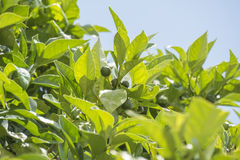 Unripe oranges growing on the tree Stock Photography